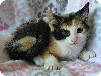 Domestic Shorthair Kitten for adoption in Tampa, Florida - Ursula