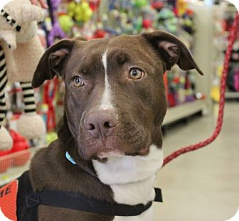 American Pit Bull Terrier Mix Dog for adoption in Owasso, Oklahoma - Lola