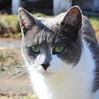 Domestic Shorthair Cat for adoption in Harrisonburg, Virginia - Samosa