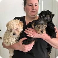 Adopt A Pet :: Darcy, Dillon, Denver - San Francisco, CA
