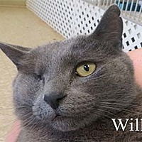 Domestic Shorthair Cat for adoption in Warren, Pennsylvania - Willy