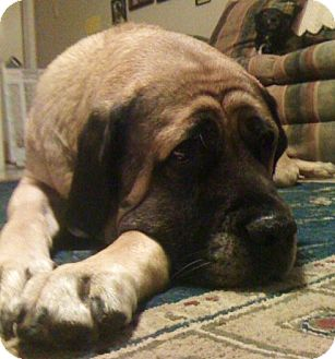 Mastiff Dog for adoption in Pipe Creed, Texas - Kiowa