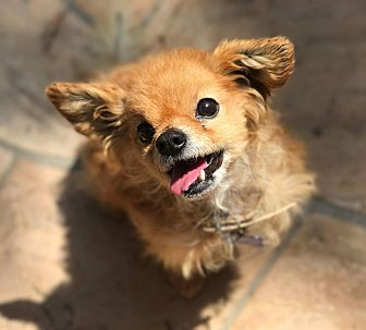 Pomeranian/Chihuahua Mix Dog for adoption in Fountain Valley, California - Bamboo