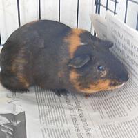 Adopt A Pet :: Mocha - Olivet, MI