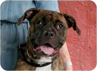 Boxer/American Staffordshire Terrier Mix Dog for adoption in Long Beach, New York - Pomegranite