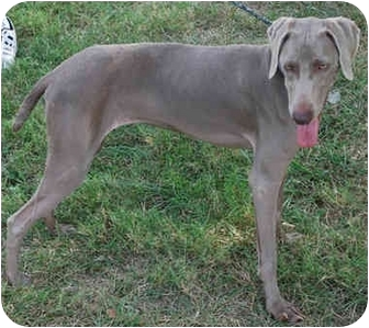 Weimaraner Dog for adoption in Gallatin, Tennessee - LEXI