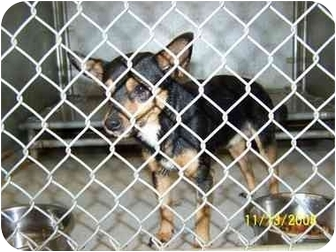 Chihuahua/Miniature Pinscher Mix Dog for adoption in Brighton, Tennessee - Ed