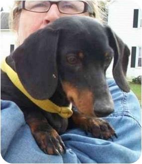Dachshund Dog for adoption in Lexington, Missouri - Roy