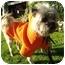 Photo 3 - Shih Tzu Mix Dog for adoption in Los Angeles, California - Jingle