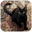 Photo 1 - Domestic Shorthair Cat for adoption in Sterling Heights, Michigan - Trena - ADOPTED!