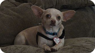 Chihuahua Dog for adoption in Grass Valley, California - Diago