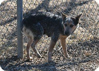 Blue Heeler Mix Dog for adoption in Atchison, Kansas - Gracie