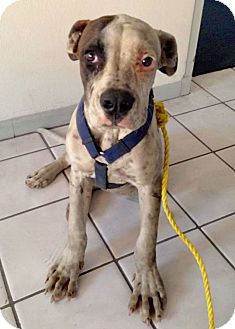 American Bulldog Mix Puppy for adoption in Ft. Lauderdale, Florida - Dexter
