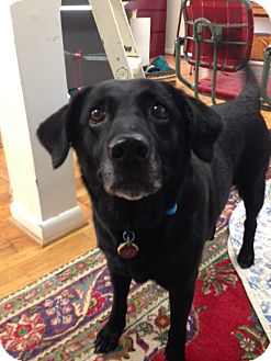 Labrador Retriever Mix Dog for adoption in Chattanooga, Tennessee - Coco