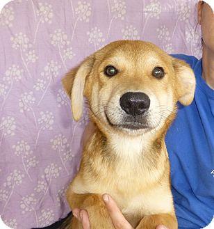 Golden Retriever/Labrador Retriever Mix Puppy for adoption in Oviedo, Florida - Todd