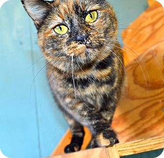 Domestic Shorthair Cat for adoption in Chattanooga, Tennessee - Poppy **DECLAWED**