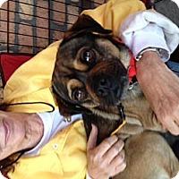 Adopt A Pet :: Bojangles - North Hollywood, CA