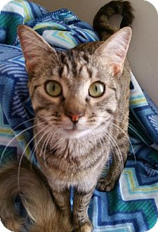 Domestic Shorthair Cat for adoption in Germantown, Maryland - Summer