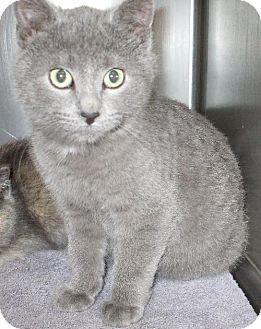American Bobtail Kitten for adoption in Lenexa, Kansas - Sean