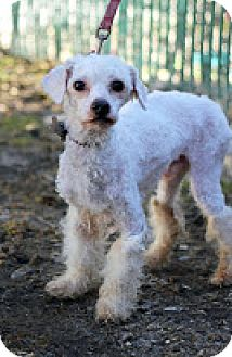 Poodle (Standard) Mix Dog for adoption in Tinton Falls, New Jersey - Rizzo