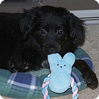 Adopt A Pet :: Tiana - New Canaan, CT