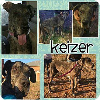 Great Dane Dog for adoption in Austin, Texas - Keizer