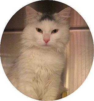 Domestic Mediumhair Cat for adoption in Pueblo West, Colorado - Sassifer