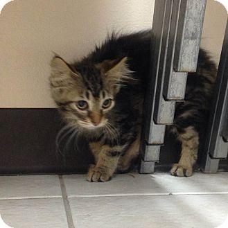 Domestic Longhair Kitten for adoption in Wheaton, Illinois - Albert