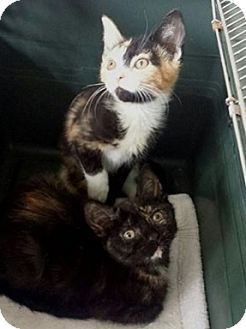 Domestic Shorthair Kitten for adoption in Cherry Hill, New Jersey - Jocelyn and Tanya