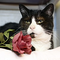 Domestic Shorthair Cat for adoption in Whitehall, Pennsylvania - Oreo