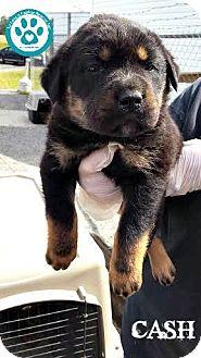 Shepherd (Unknown Type) Mix Puppy for adoption in Kimberton, Pennsylvania - Cash