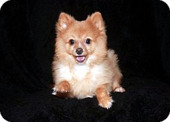 Pomeranian Puppy for adoption in Dallas, Texas - Woof Woof