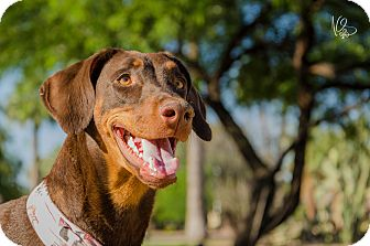 Doberman Pinscher Dog for adoption in Phoenix, Arizona - Fiona
