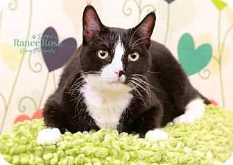Domestic Shorthair Cat for adoption in Sterling Heights, Michigan - Petey