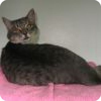Domestic Shorthair Cat for adoption in Powell, Ohio - Sterling