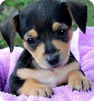 """Dachshund/Beagle Mix Puppy for adoption in Wakefield, Rhode Island - BAMBI(OUR TINY """"DOXLE""""!!!"""