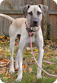 Great Dane/Black Mouth Cur Mix Dog for adoption in Allentown, Pennsylvania - Gus