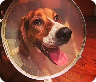 Treeing Walker Coonhound Mix Dog for adoption in Newland, North Carolina - Chance