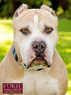 American Staffordshire Terrier/American Bulldog Mix Dog for adoption in Marina del Rey, California - Mufasa