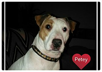 Fox Terrier (Smooth) Mix Dog for adoption in Rockford, Illinois - Petey