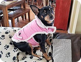 Miniature Pinscher Mix Dog for adoption in Flushing, Michigan - Stella Ann