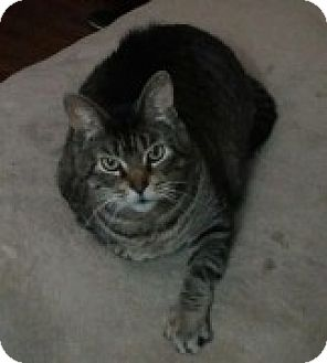 Domestic Shorthair Cat for adoption in McHenry, Illinois - Orylee