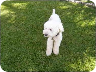 Bichon Frise Dog for adoption in La Costa, California - Landon