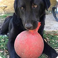 Adopt A Pet :: Louie- Guest Dog Program - Dallas, TX