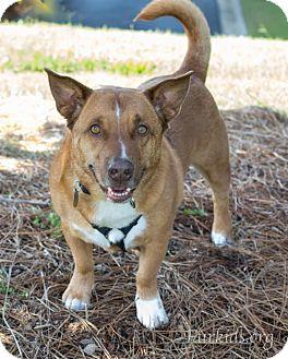 Welsh Corgi Mix Dog for adoption in Alpharetta, Georgia - Charlie Chu