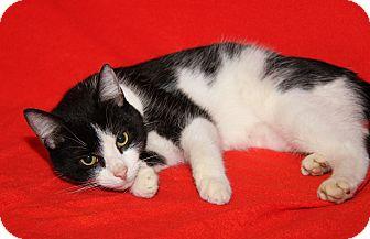 Domestic Shorthair Cat for adoption in Marietta, Ohio - Casanova (Neutered)
