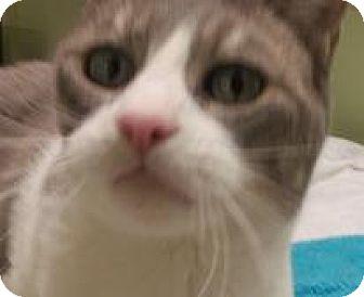 Domestic Mediumhair Cat for adoption in Alturas, California - PitPat, a 3 legged kitty