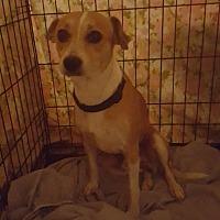 Adopt A Pet :: Taz - loxahatchee, FL
