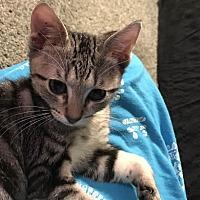 Adopt A Pet :: Pixel - Miami Shores, FL