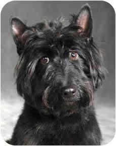 Scottie, Scottish Terrier Dog for adoption in Chicago, Illinois - Sable